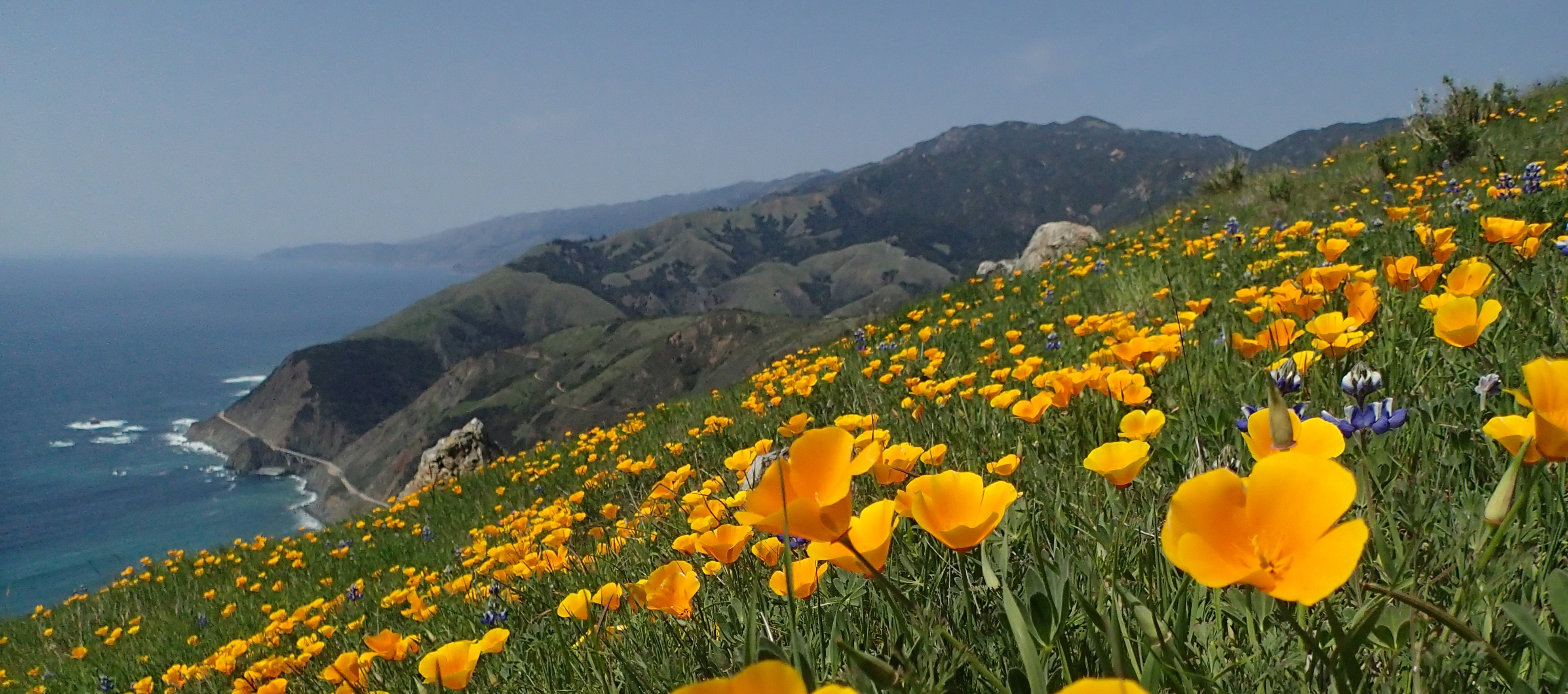 California poppies in foreground with Pacific Ocean, Big Creek canyon and Big Creek Bridge in background