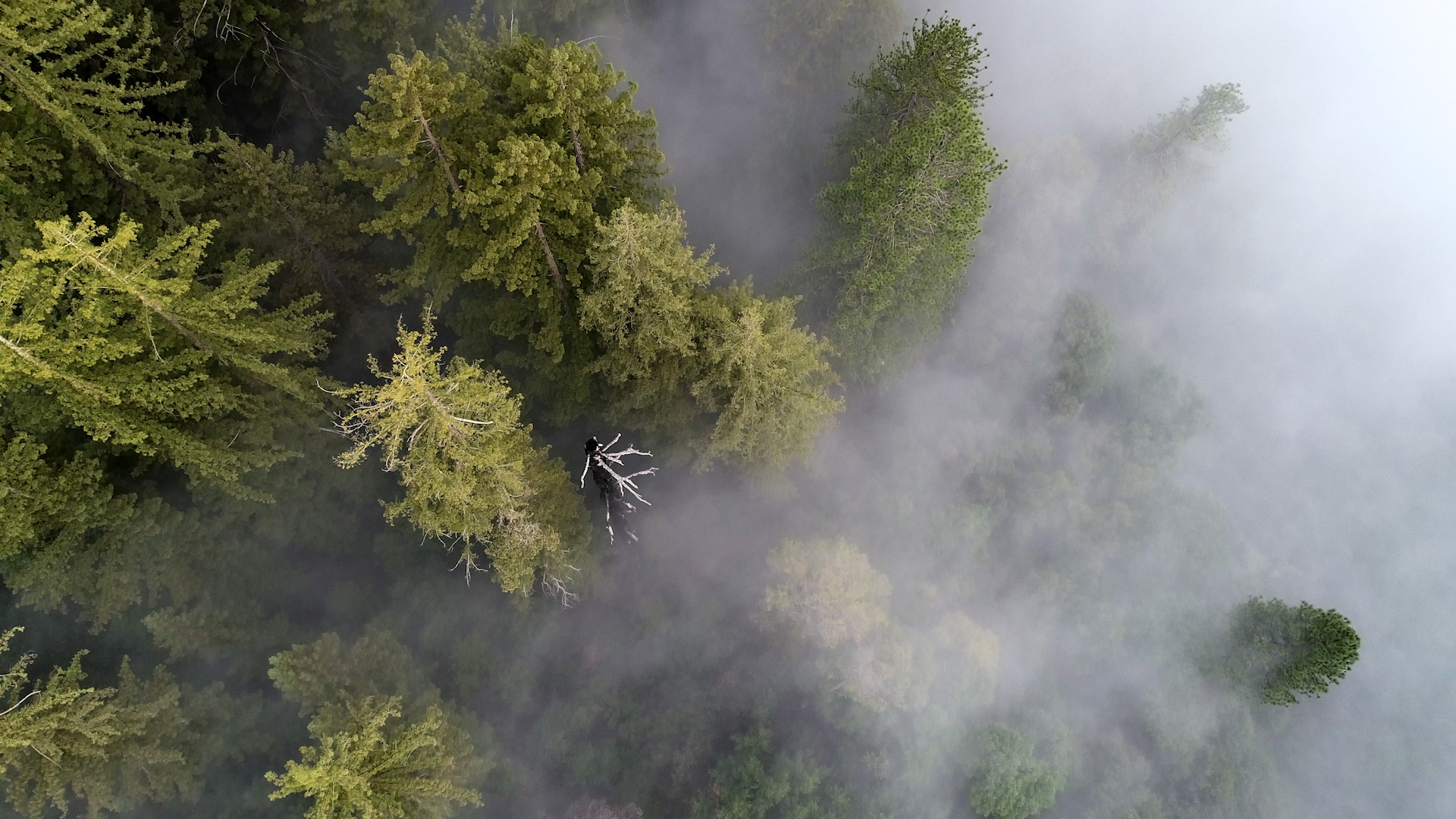 Drone image looking down at Redwood Trees